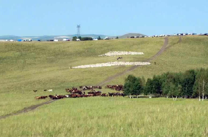 夏营地草场上的牛羊在吃草。(牧民提供/记者乔龙)